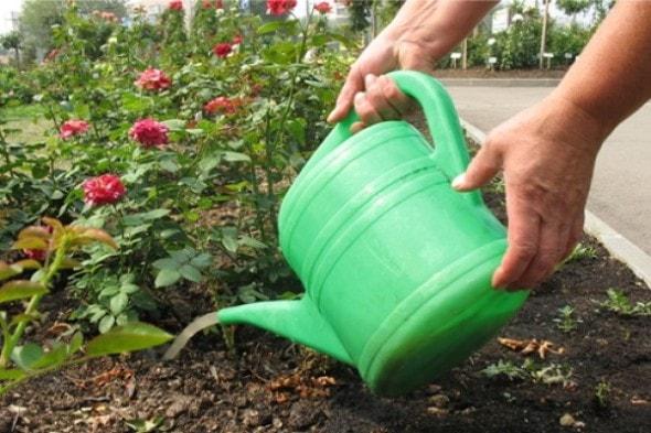 Как часто поливать розы летом?