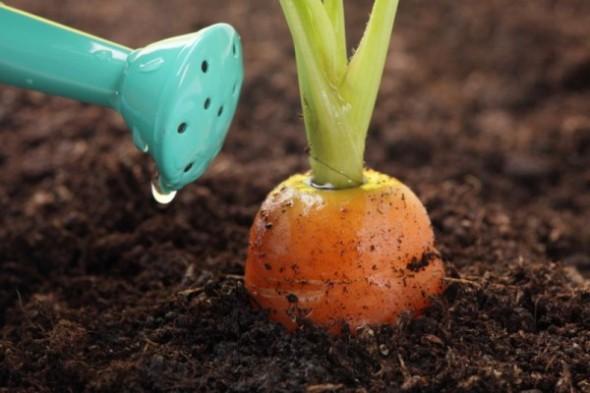 Правила полива моркови