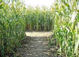 Рентабельность выращивания кукурузы