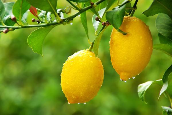 Лимоны на даче: эксперимент или успешное выращивание?