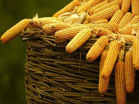 kukuruza 6