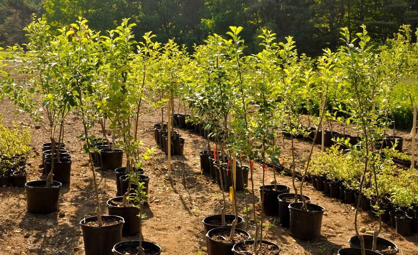 Выбор саженцев плодовых деревьев: общие рекомендации